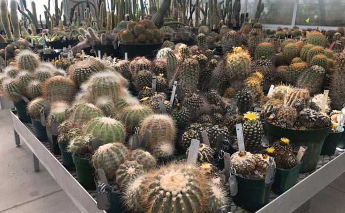 Cacti on table indoors