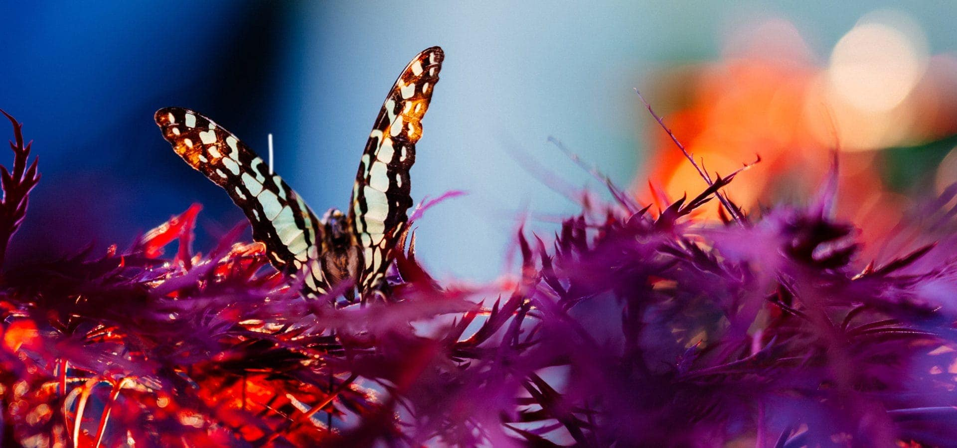 Dabella header- photo of butterfly